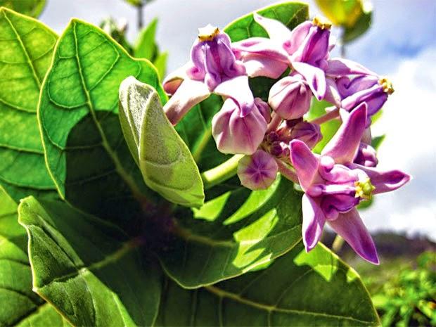 Bài thuốc nam chữa dứt điểm hen suyễn - Cây lá hen